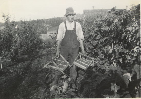 George McMorran Harvesting Loganberries