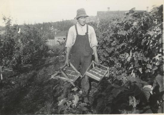 George McMorran Harvesting Loganberries