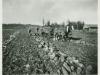 Harvesting Giant Mangels