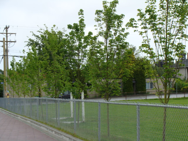 Victoria High's New Memorial Trees